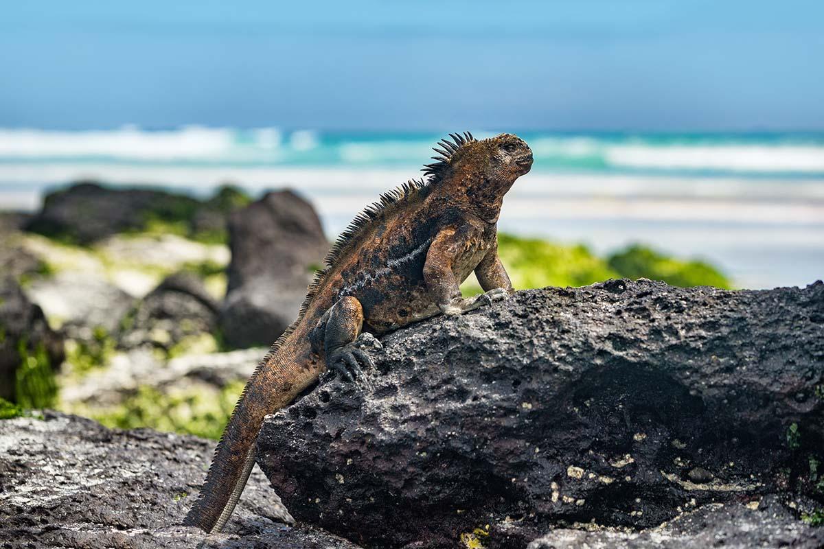 Galapagos-Iguana.